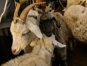 Karakol Cattle Market 16