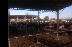 Karakol Cattle Market 6