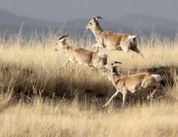 procapra-przewalski Gazellei