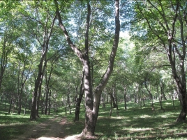 Walnut Forest 2
